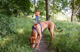 brown dog sniffing ground on walk