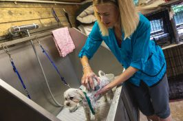 small white dog being washed and bathed