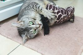 cat playing with toy in cattery