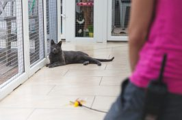 grey cat lying down in cattery