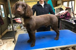 spaniel at dog groomers