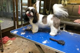 shih tzu in dog grooming