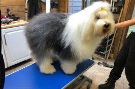 old english sheepdog at dog groomers