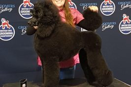 black standard poodle at dog grooming show prize winner