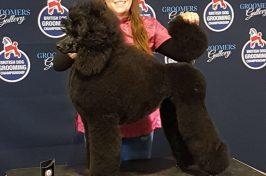 black standard poodle at dog grooming show prize winner