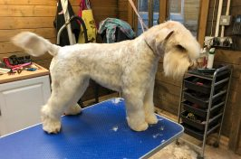 white schnauzer at dog groomers