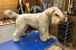 white schnauzer at dog groomers