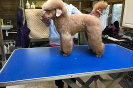 apricot miniature poodle at dog groomers