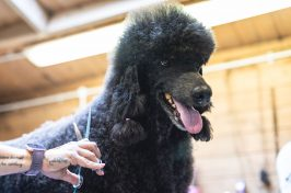 black poodle having its hair cut